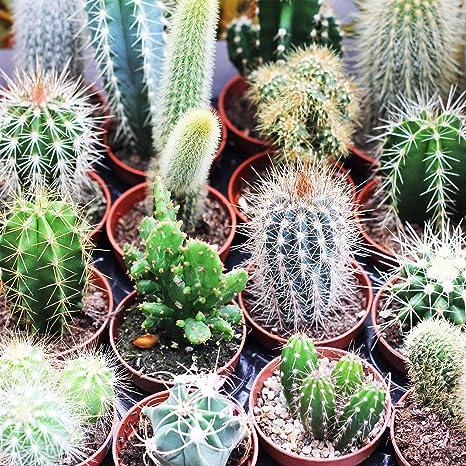 USA SELLER 25 Cactus Seeds Succulent plants Bonsai