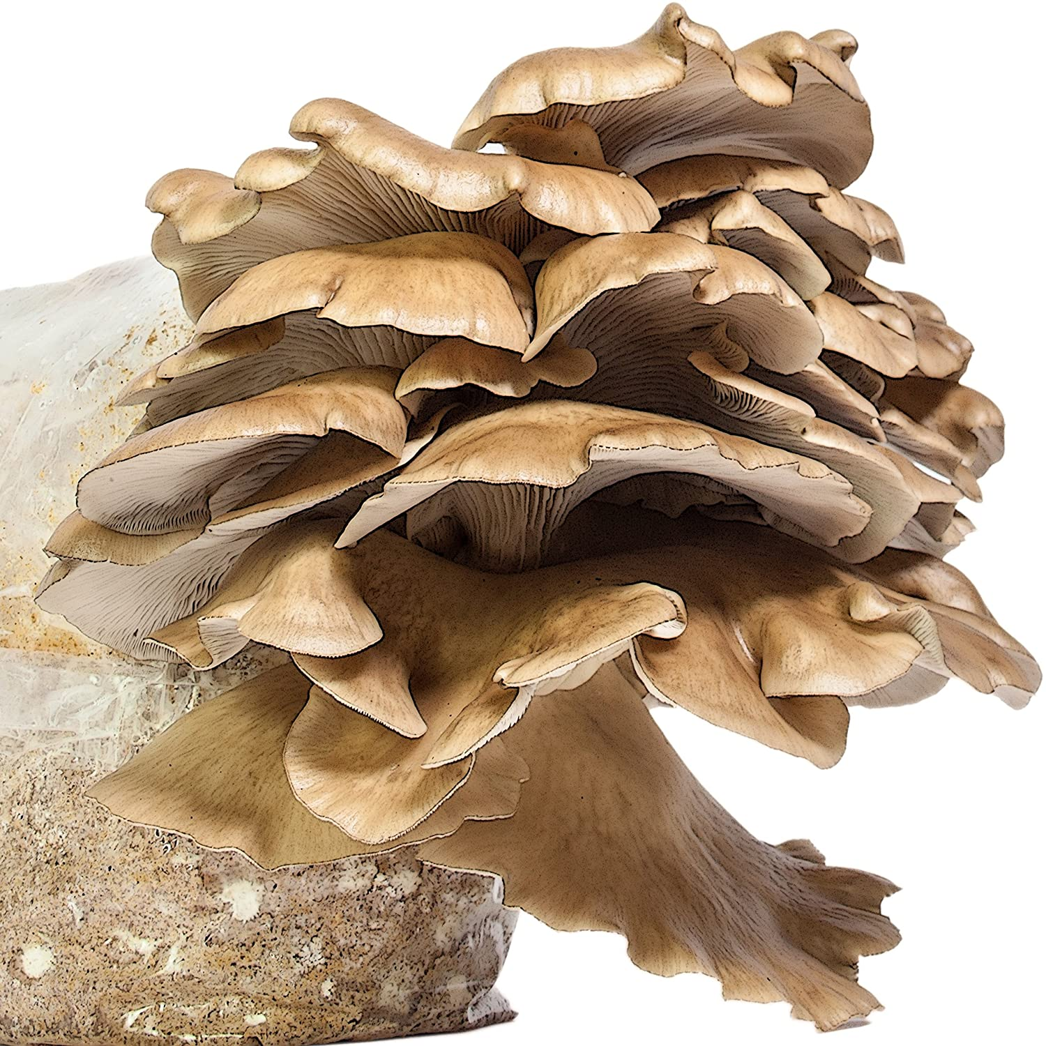 Best Mushroom Growing Kit - Oyster Mushroom Growing Kit - Premium Edition by the Imaginary Farmer