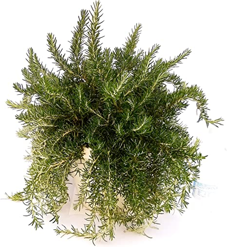 Rosmarino prostrato Pianta vera in vaso Vannucci Piante Rosmarinus officinalis Prostratus 1x Pianta da terrazzo cod. 22