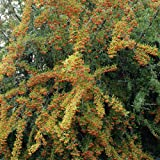 Dominik Blumen und Pflanzen, Sanddorn-Set: je 1 Pflanze männlich und 1 Pflanze weiblich, Busch, 20 - 40 cm hoch, 2 Liter Container, plus 1 Paar Handschuhe gratis