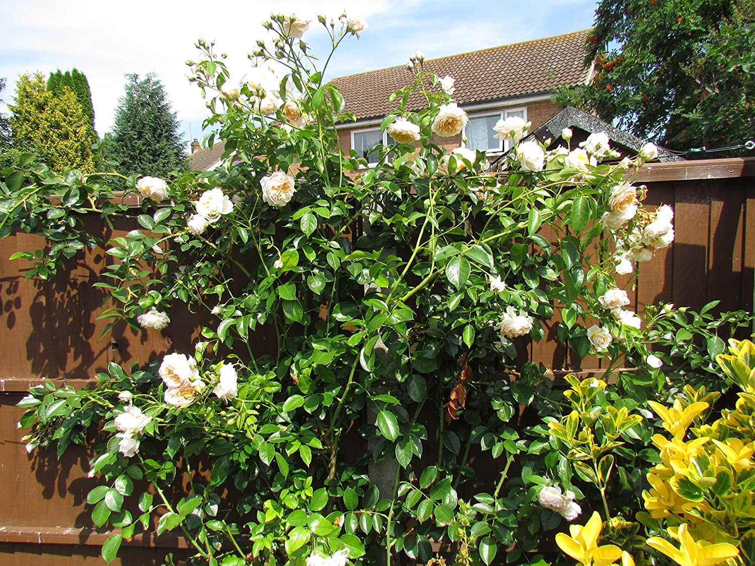 GINGER SYLLABUB Ginger//Apricot Fragrant 5.5lt Potted Climbing Garden Rose Repeat Flowering Blooms