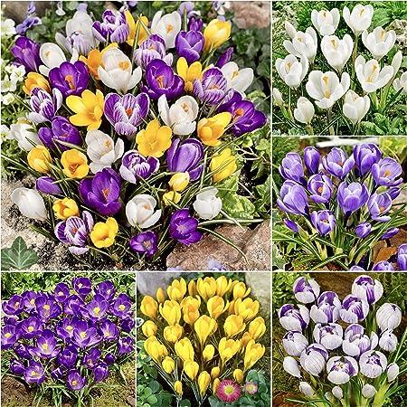 Woodland Bulbs 100 X Crocus Bulbs Mixed Colours Spring Flowering Bulbs Free Uk P P Amazon Co Uk Garden Outdoors