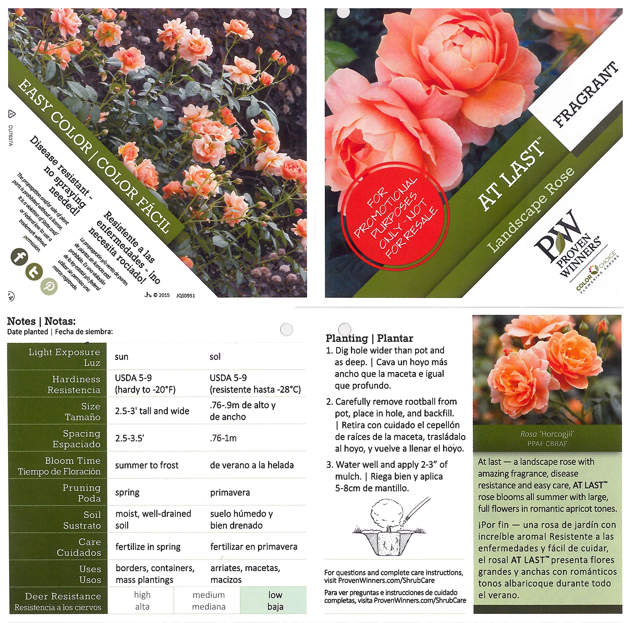 At Last Rose (Rosa) Live Shrub, Orange Flowers, 4.5 in. Quart by Proven Winners (Image #3)