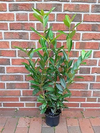 60-80 cm ab Topf 10 Kirschlorbeer Pflanzen Prunus Caucasica H/öhe