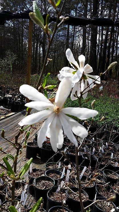 Amazoncom 1 Gallonroyal Star Magnolia Hardy Magnolia For Cold