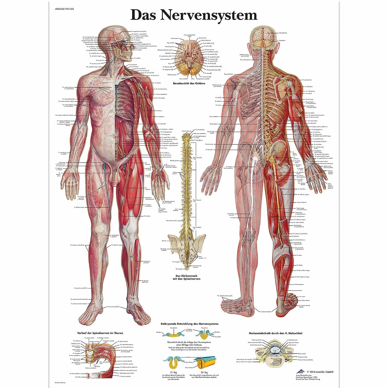3B Scientific Lehrtafel laminiert - Das Nervensystem: Amazon.de ...
