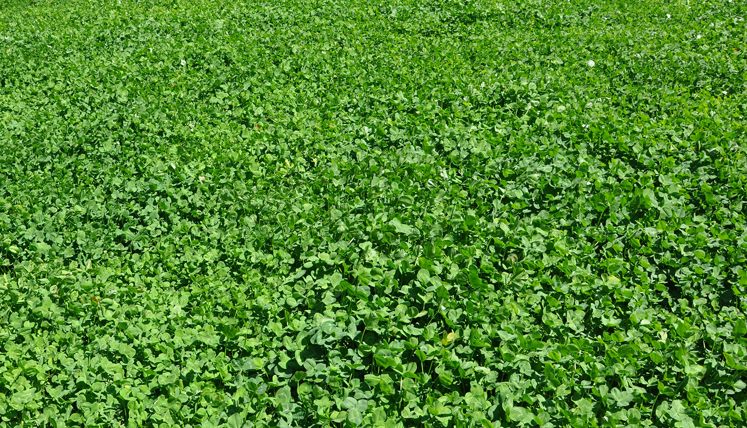 Whitetail Institute Imperial Clover Food Plot Seed (Spring and Fall Planting), 4-Pound (1/2 Acre) by Whitetail Institute (Image #5)