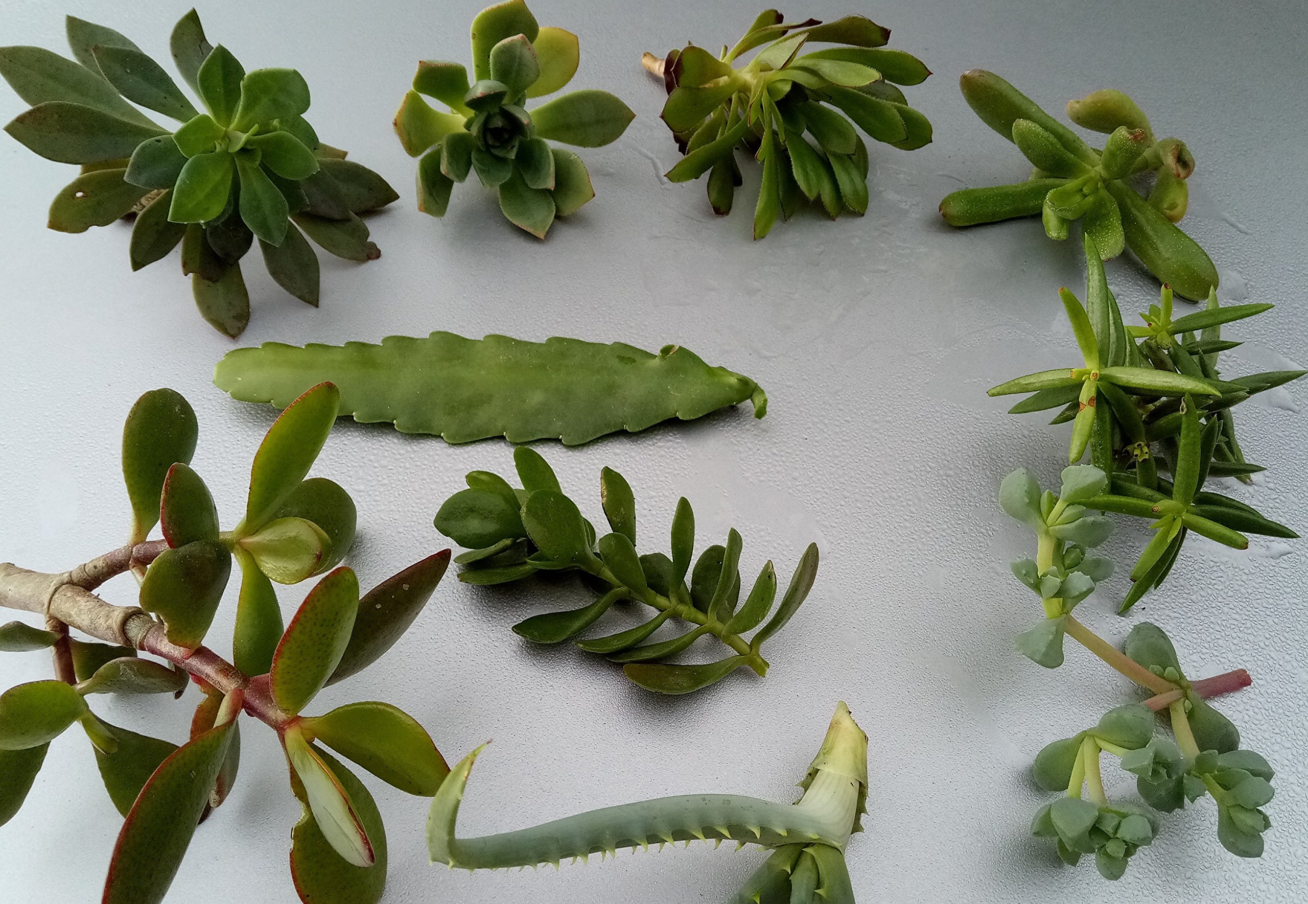 Shop Succulents 10-SUC Cuttings Plant, Small, Multicolor