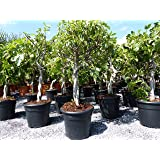 Feigenbaum 80-100 cm ! hell UND dunkel in 1 Topf ! Obstbaum, winterhart, Ficus Carica, Feige