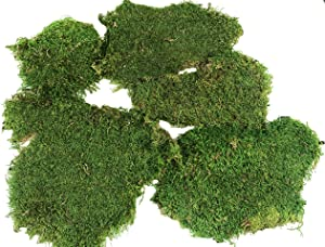 Preserved Green Sheet Moss Dried Natural for Fairy Gardens Terrariums or Any Craft or Floral Project (Sheet Moss-Green 6 OZ)