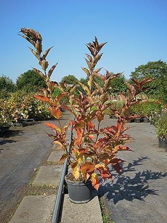 Kletterpflanze Halbschattig weigelie prince 60 100 cm busch für sonne halbschatten