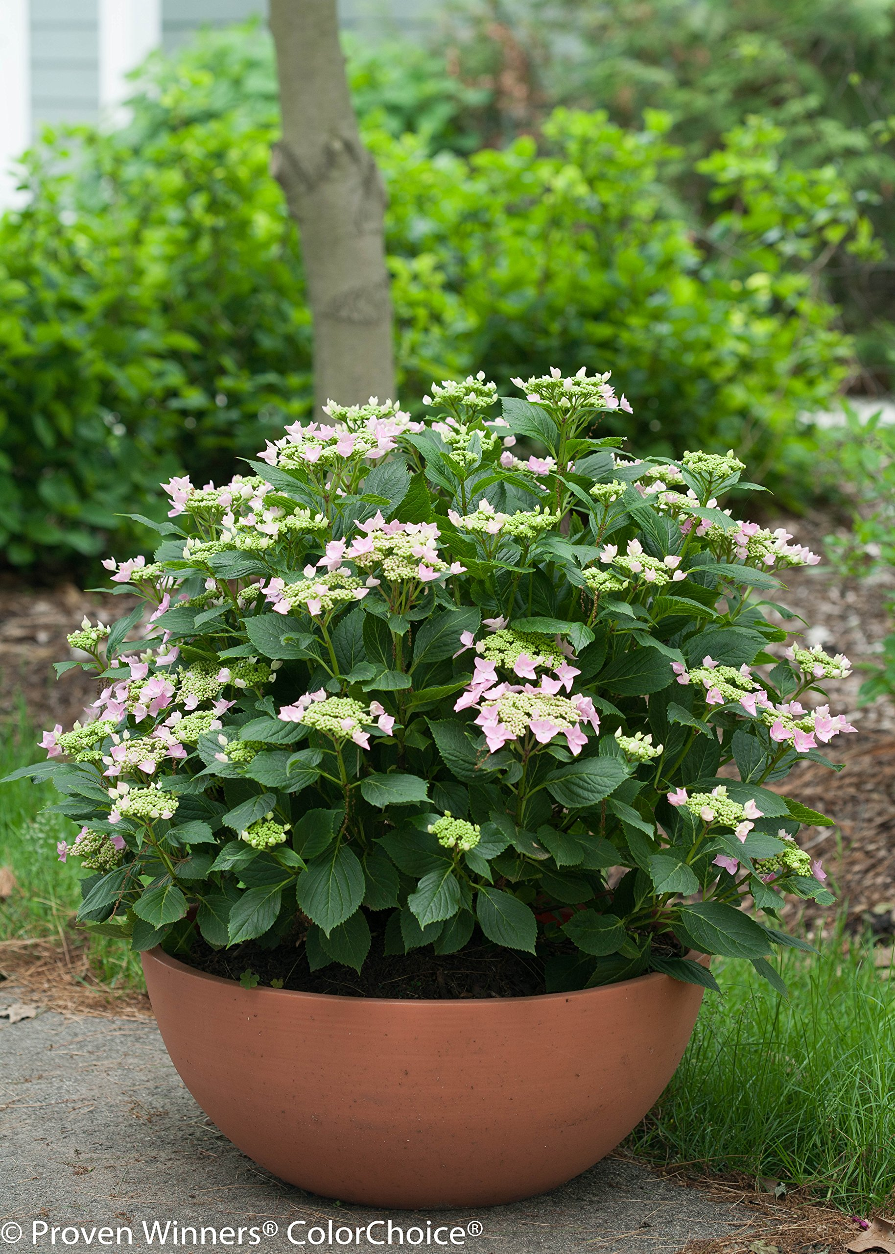 1 Gal. Let's Dance Starlight Bigleaf Hydrangea (Macrophylla) Live Shrub, Blue or Pink Flowers by Proven Winners (Image #8)