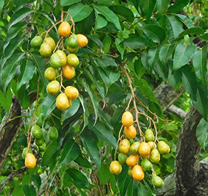 Rare Spondias mangifera INDIAN HOG PLUM AMBAZHAM Medicinal Fruit