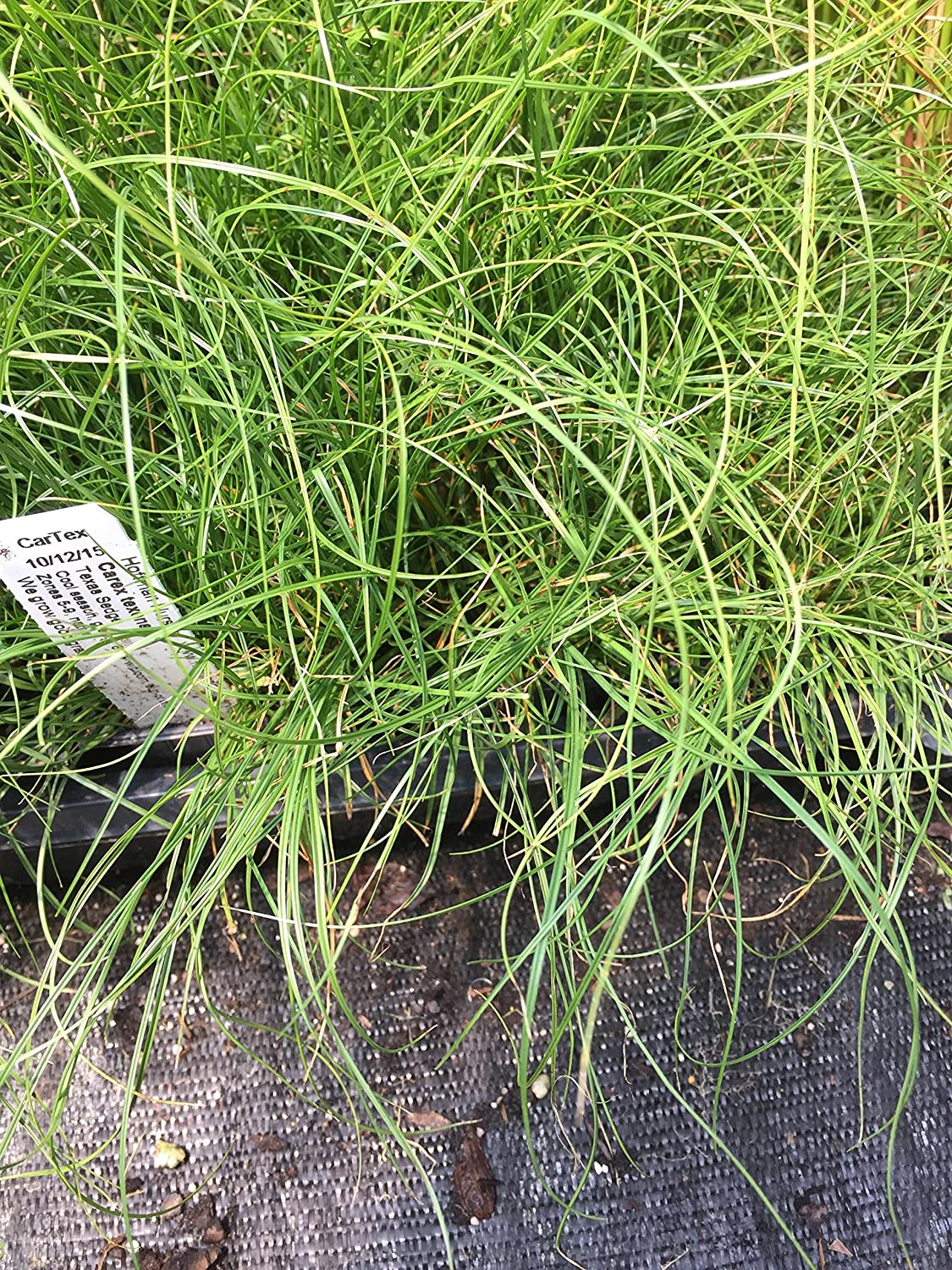 Amazon Com Carex Texensis Grass Plants 3 Containers In 2 5 Inch