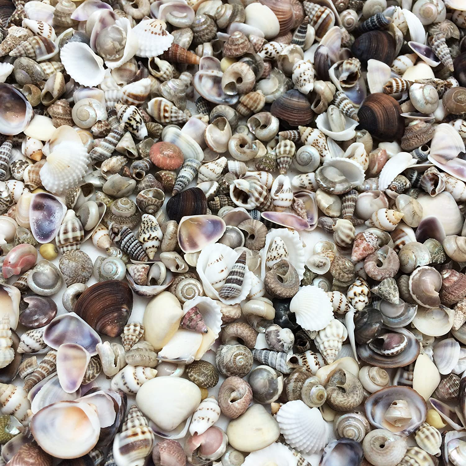 PEPPERLONELY Small Mix Sea Shells, Very Clean, 8 OZ Apprx. 340+ PC Shells, 1/2 Inch ~ 1 Inch