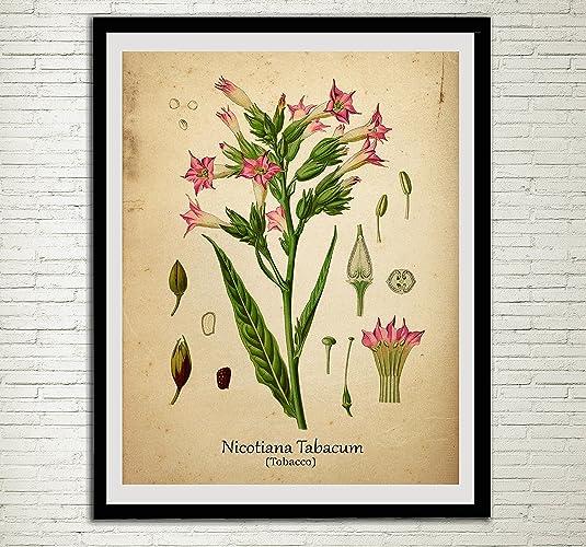 Amazon.com: Tobacco Drug Plant Print Tobacco Leaf Antique Botanical ...