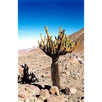 Browningia Candelaris South American RARE Cactus Edible Cacti Fruits 10 SEEDS : Garden & Outdoor