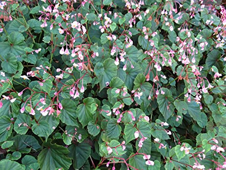 Amazon 2 pods hardy perennial beautiful leaves pink flowers 2 pods hardy perennial beautiful leaves pink flowers begonia grandis seeds mightylinksfo