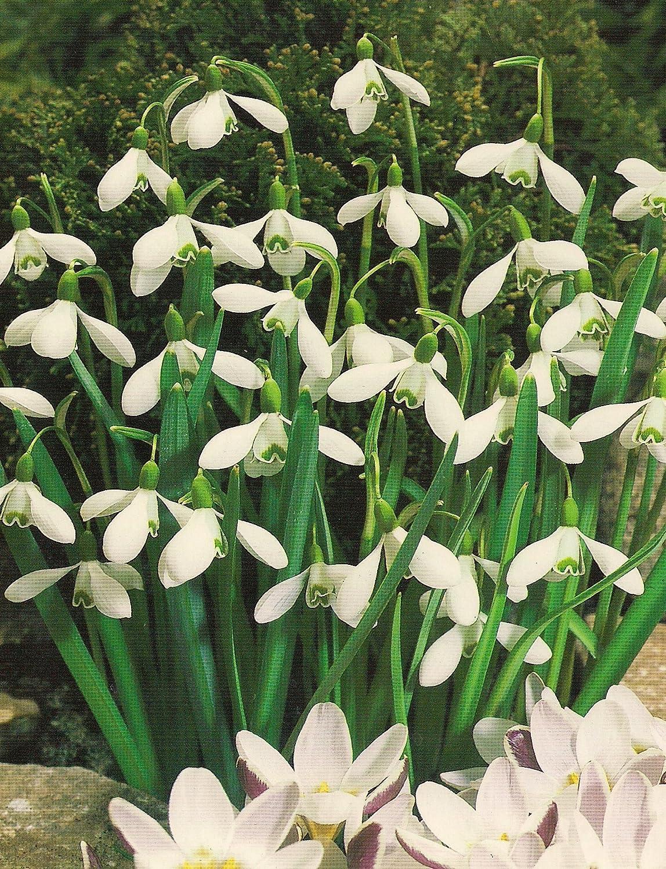 Schneeglöckchen Galanthus (25 Blumenzwiebeln) Blumenhandel Ullrich