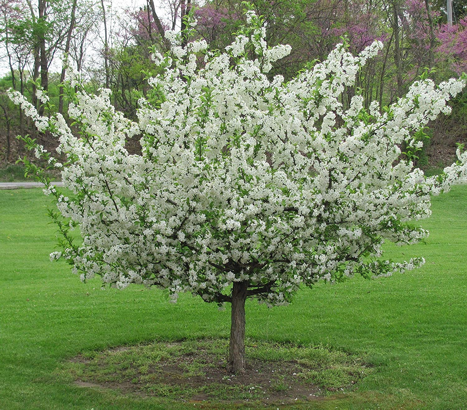 Sargent Crabapple- Malus sargentii- Sargent Crabapple Tree- 12-18 inch Tall in a qt Pot- Bare Root to CA (dormant OCT.-March)- NO Shipping to AZ