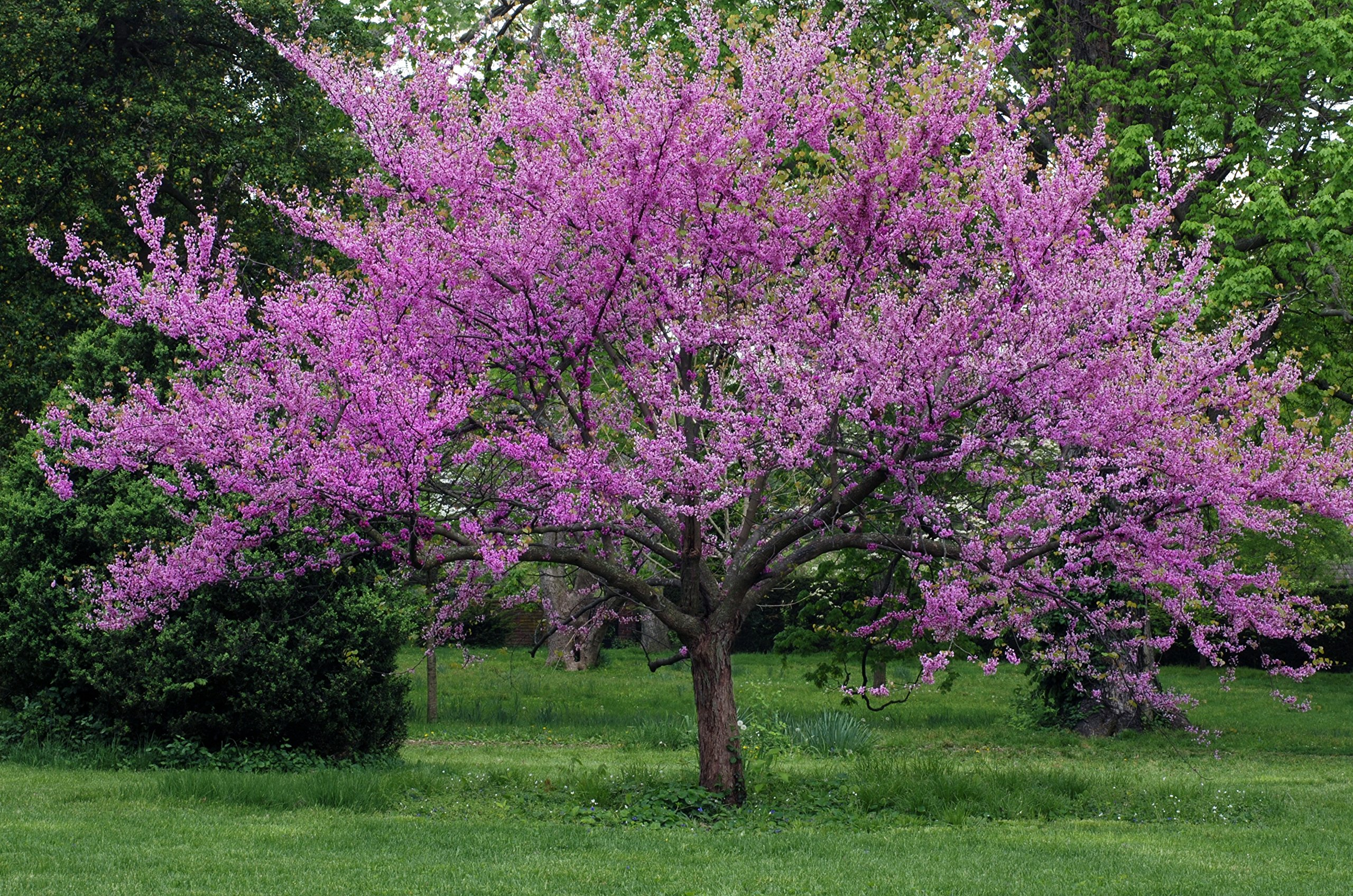 Eastern Redbud Tree - Live Plant Shipped 2-3 Feet Tall (No California)