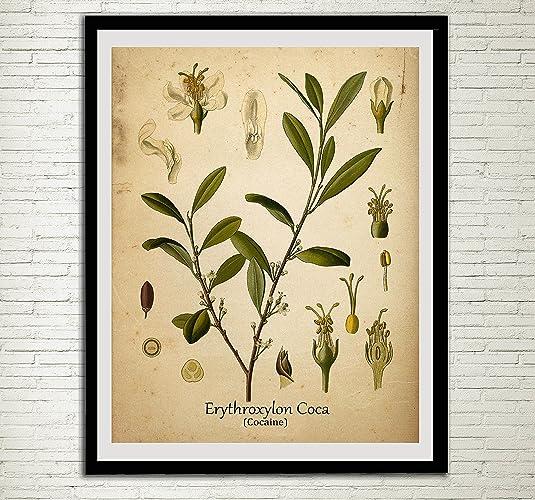 Amazon.com: Cocaine Drug Plant Print Coca Leaf Antique Botanical ...