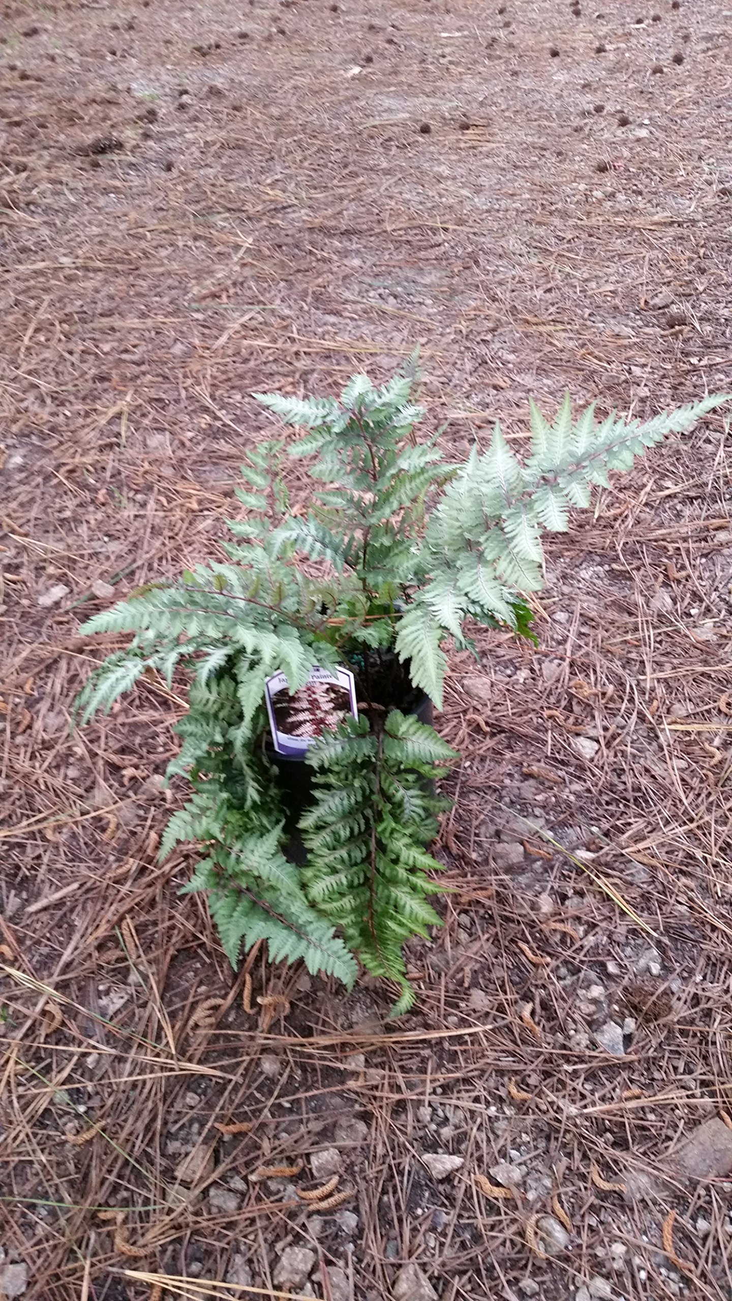 (1 Gallon Plant) AUTUMN FERN, One of the Most Impressive Ferns, Dazzling Display of Color for Every Season-Starting from Copper to Light Green to Orange Copper.