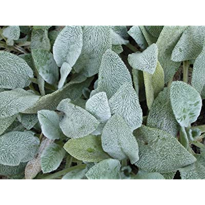 (1 Gallon) Stachys Byzantine 'Helene von Stein' Big Ears Lamb's Ear, Woolly Silver Grey Foliage, Larger Leaves Than Typical Stachys, Flowers are Rare, but are Purple When They do Appear. : Garden & Outdoor