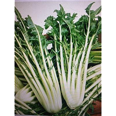 1000+ Certified (TYK) Organic CATALOGNA Emerald Endive, Heirloom Non-GMO : Garden & Outdoor