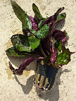 Hemiographis colorata - 1 manojo - Plantas naturales para acuarios ...