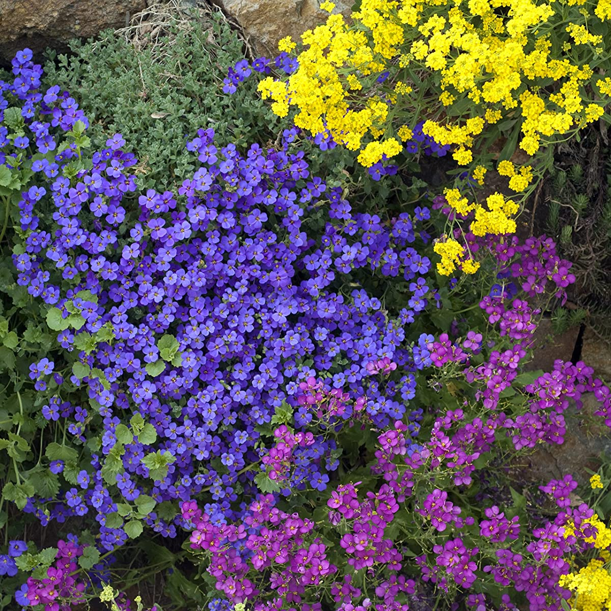 Outsidepride Aubrieta Rock Cress Cascade Blue Seeds - 1000 seeds