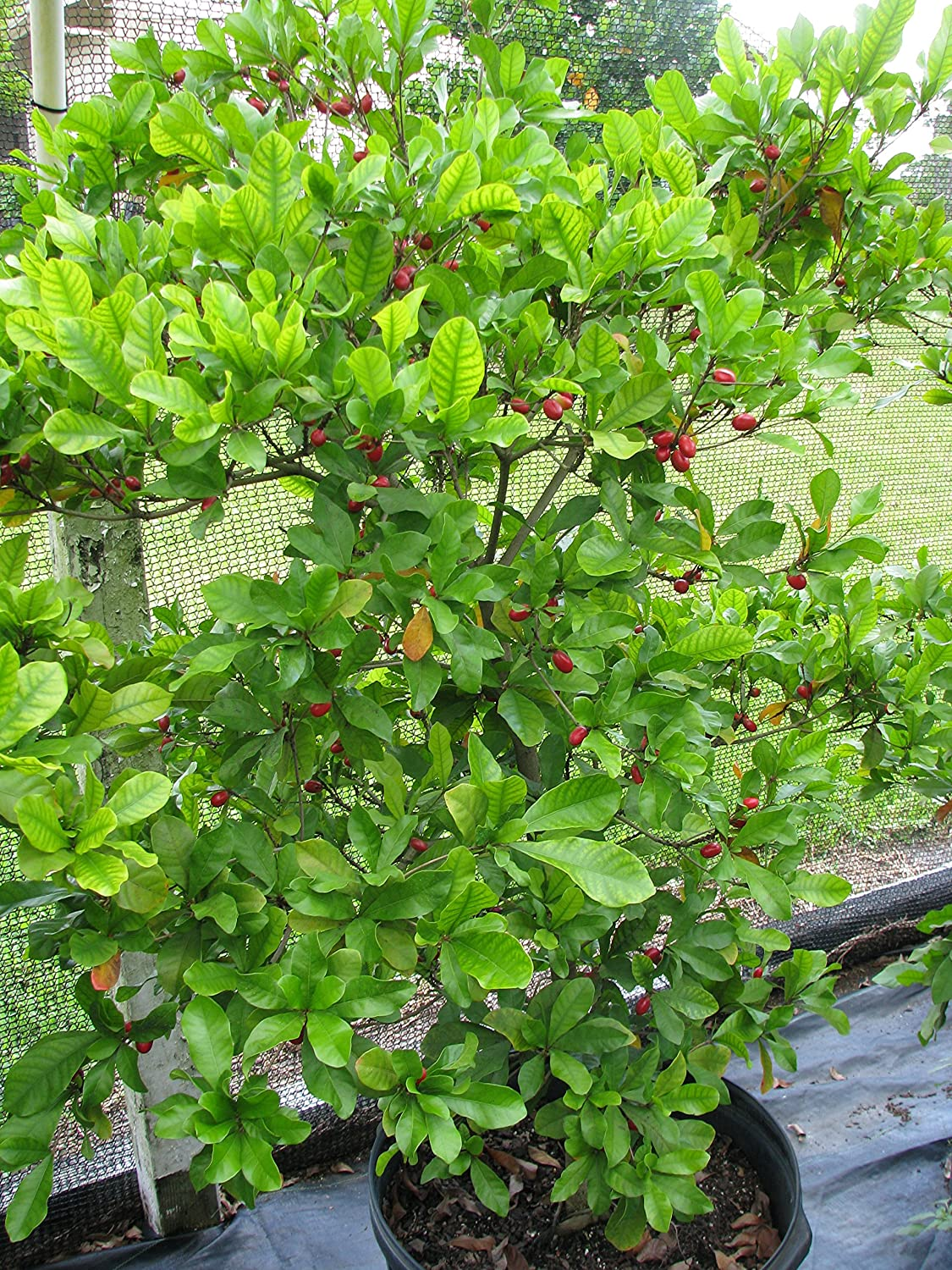 3 Miracle Fruit Seeds - Turn Sour to Sweet - Synsepalum Dulcificum