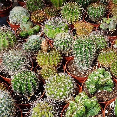 100 Pcs Mini Succulent Cactus Seeds Rare-Perennial Garden Plants-Home Herb L1N1