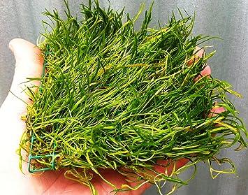 Brasil Micro Espada * lilaeopsis Brasiliensis * en Pad Live Plantas: Amazon.es: Productos para mascotas