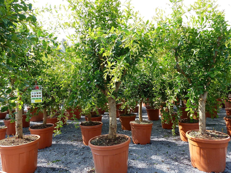 XXL Punica Granatum 180 cm Granatapfelbaum Obstbaum Obst Apfelbaum Apfel