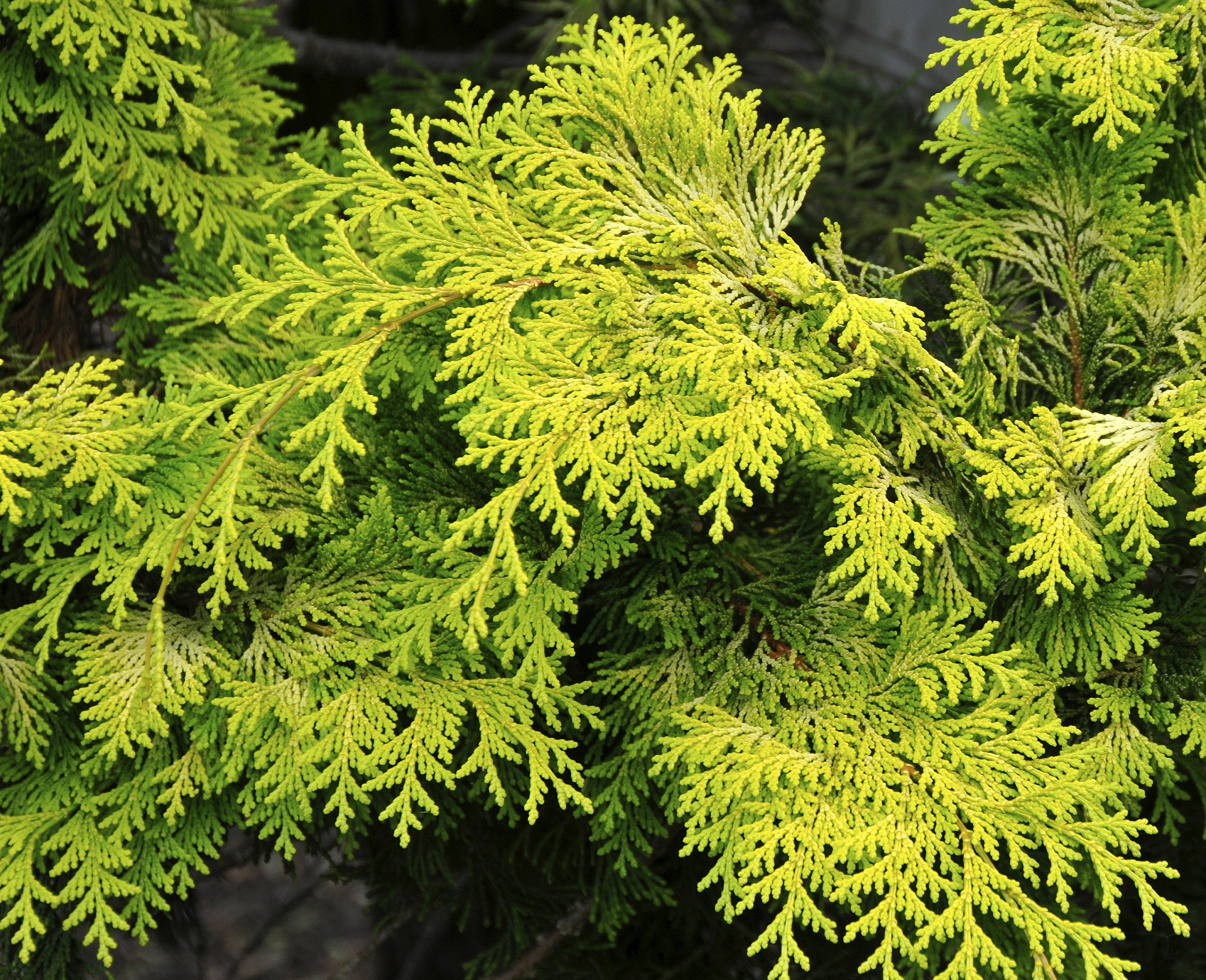 Crippsii Golden Hinoki Cypress - Live Plant - 3 Gallon Pot