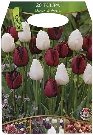 Dominik Blumen und Pflanzen, Großpackung mit 20 Tulpen in dunklen ...
