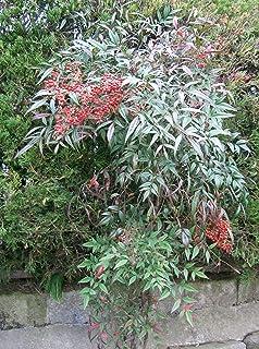 Asklepios Seeds®   50 Semi Di Nandina Domestica, Nandina, Bambù Sacro