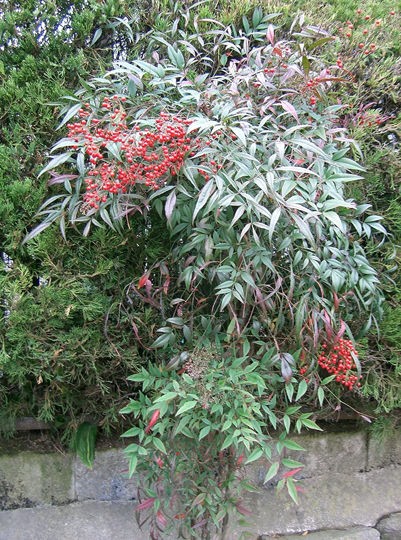 50 seeds of Nandina domestica heavenly bamboo sacred bamboo Asklepios-seeds/® nandina