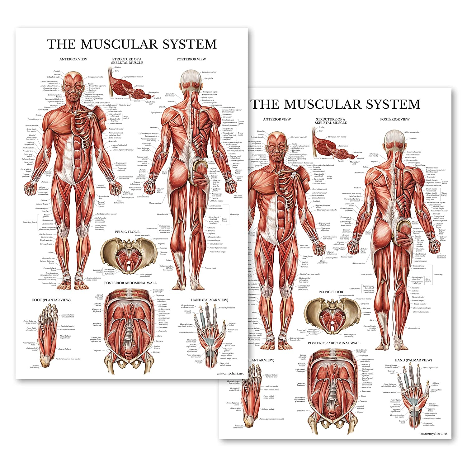 Amazon Set Of Two Muscular System Anatomical Posters