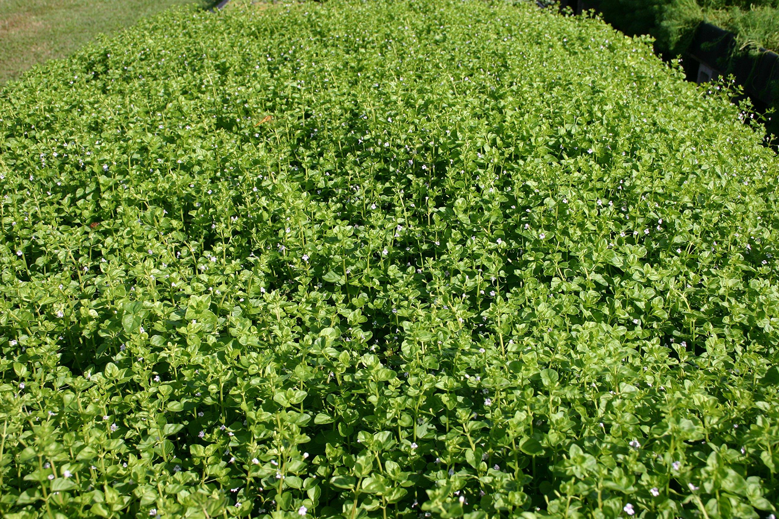 POND PLANT, AQUATIC MINT, SMALL LEAF (3 live plants)