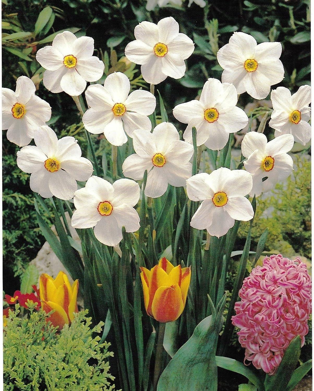 10 Pheasant Eye Poeticus Daffodil//Narcissus Bulbs Extremely Fragrant GARTHWAITE NURSERIES/® : Hardy Late Spring Garden Perennial