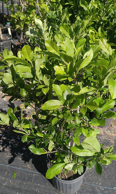 Amazon Com Claudia Wannamaker Magnolia Tree 2 Year Old 4 5 Ft