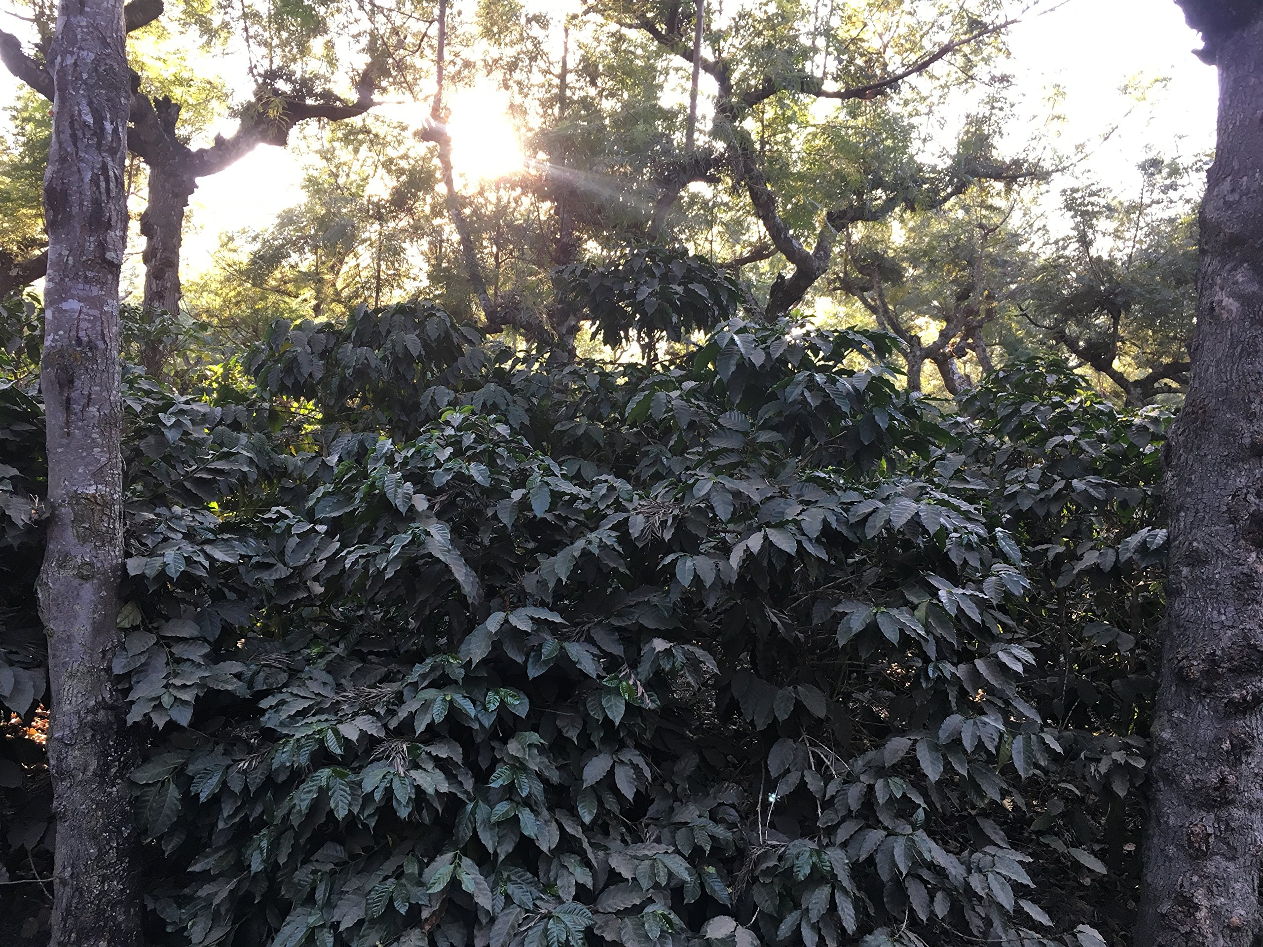Guatemala Chichen (5 LB) Unroasted Green Coffee Beans, 100% Specialty Arabica Caffeinated Coffee