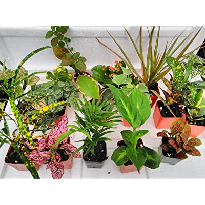 Terrarium & Fairy Garden Plants - 6 Plants in 2.5 (Is Approximately 4 to 6 Inches Height of the Plant): Everything Else