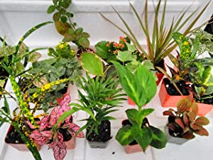 Terrarium & Fairy Garden Plants - 6 Plants in 2.5 (Is Approximately 4 to 6 Inches Height of the Plant)