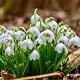 100 Double Snowdrop Bulbs (IN THE GREEN) Top Quality Flowering Size Bulbs, Galanthus Flore Pleno (Ready To Plant) FREE UK P&P