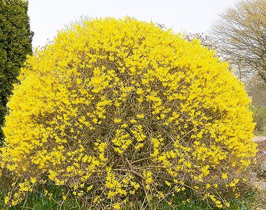 Flores y plantas de Dominik, campanas de oro, forsythia, forsythia ...