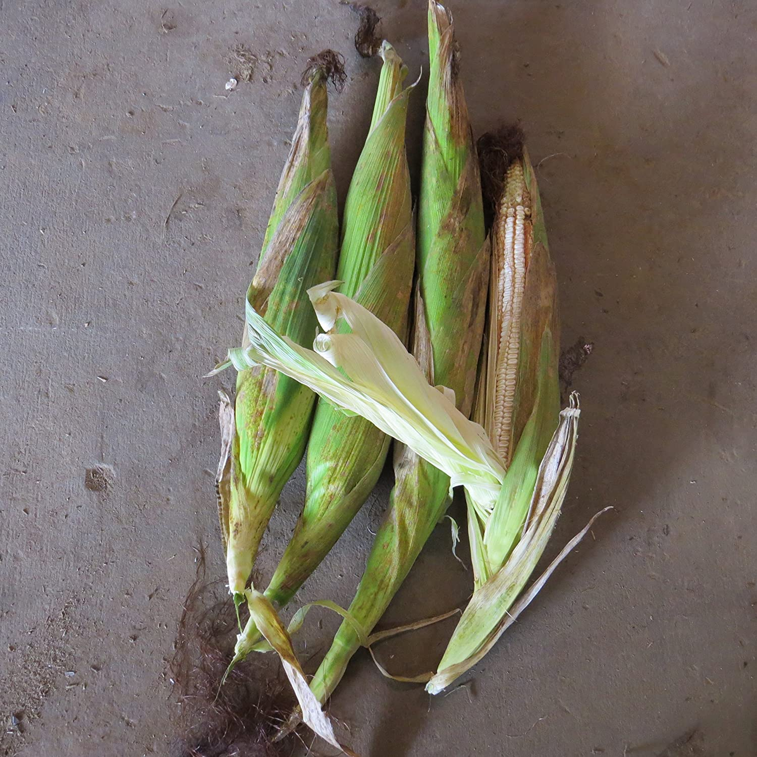 #1244 18' to 24' SOUTH AMERICA GIANT YELLOW CORN35 SEEDSRAREe-z grow TALL#1244