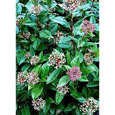Spring Bouquet Laurustinus - Live Plant in a 6 Inch Pot - Viburnum Tinus Compactum - Bird Friendly Evergreen Shrub : Garden & Outdoor